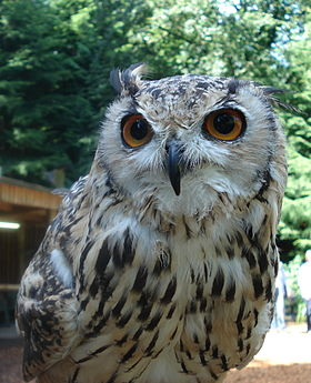 Indian eagle owl.JPG