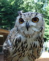 Indian eagle owl.JPG