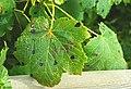 Infested sycamore leaf, Kiltonga - geograph.org.uk - 917897.jpg