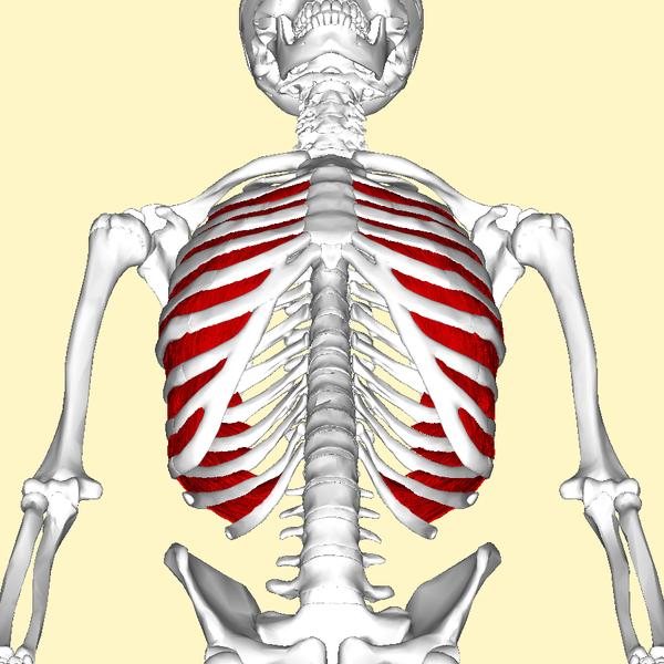 File:Internal intercostal muscles below.png - Wikimedia Commons