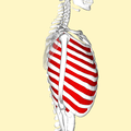 Internal intercostal muscles lateral2.png