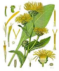Inula helenium - Köhler–s Medizinal-Pflanzen-210.jpg