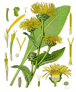 Elecampane species of plant