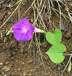Ipomoea orizabensis, the Mexican Scammony Root (10751957153).jpg