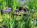 Iris hookeri or setosa (14184507202).jpg