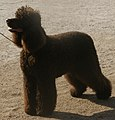 Irish Water Spaniel 4.jpg