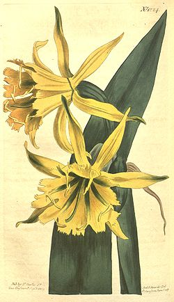 Ismene amancaes (as Pancratium amancaes) 30.1224.jpg