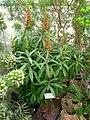 Isoplexis isabelliana - Berlin Botanical Garden - IMG 8781.JPG