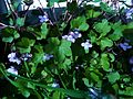 Ivy-leaved Toadflax (Cymbalaria muralis).jpg