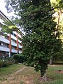 Ivy plant hedera 3.jpg