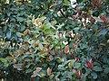 Ixora brachiata (5338174681).jpg
