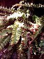 Języcznik zwyczajny (kędzierzawy) Phyllitis scolopendrium.jpg