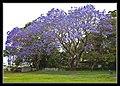 Jacaranda Brighton Park-1 (6288559854).jpg