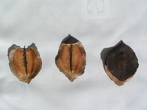 Jacaranda mimosifolia - Image: Jacaranda mimosifolia fruits (opened and closed) 3