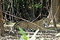 Jaguar (Panthera onca) female resting in the shade ... (other female hidden behind tree on the left) (48704536203).jpg