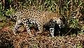 Jaguar (Panthera onca) female walking on the riverbank ... (48710554457).jpg