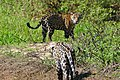 Jaguar (Panthera onca) male meeting a young female (back) ... (27294296873).jpg