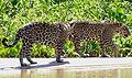 Jaguars (Panthera onca) brothers on the beach ... (48698283981).jpg