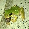 Japanese tree frog eating wood louse.jpg