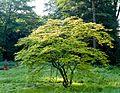 Japanischer Ahorn Queen-Auguste-Victoria-Park (Umkirch) jm31375.jpg