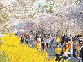 Jeju King Cherry Blossom Spring Festival - 4403570832.jpg
