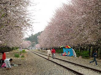 Jinhae-gu - Jinhae Cherry Blossoms