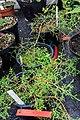 Juniperus gracilior CBN Brest 02.jpg