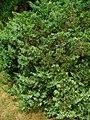 Juniperus sabina 001.JPG