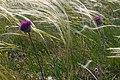 Jurinea mollis (8394880528).jpg
