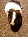 Juvenile guinea pig.jpg