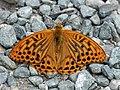 Kaisermantel (Argynnis paphia) 6170406.jpg