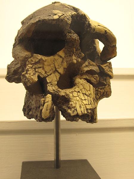 File:Kenyanthropus platyops IMG 2946.JPG