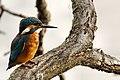 Kingfisher - Lackford Lakes (36311364103).jpg