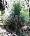 Kinglake NP Austral Grass-trees.jpg