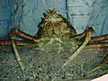 Krabbe-koenig.JPG