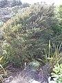 Kunzea robusta de Lange and Toelken (AM AK296606).jpg