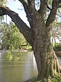 Kysice KL CZ Javory v Kysicich Acer saccharinum 071.jpg