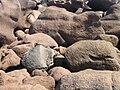 La côte de granit rose à Trégastel - 061.JPG