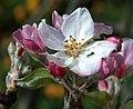 La fourmi sur la fleur du pommier a formiga sobre a flor de macieira (3449762842).jpg