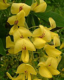 fleurs bicolore jaune de la Cytise