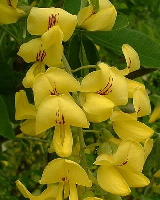 Laburnum - Common laburnum – flowers