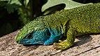 Lacerta viridis - male 04.JPG