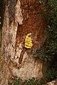 Laetiporus sulphureus (29369488700).jpg