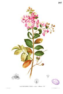 <i>Lagerstroemia</i> genus of plants