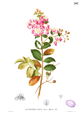 Lagerstroemia indica Blanco1.207.png