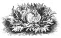 Laitue Beauregard Vilmorin-Andrieux 1883.png