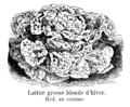 Laitue grosse blonde d'hiver Vilmorin-Andrieux 1904.png