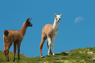 Cria Baby camelid such as a llama, alpaca, vicuña, or guanaco