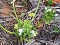 Lamium amplexicaule var. albiflorum Habitus 2010-4-17 DehesaBoyalPuertollano.jpg