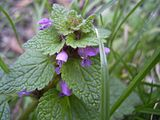 Lamium purpureum top.jpg